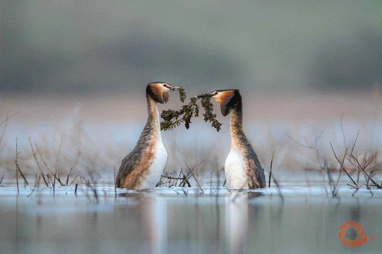 Один из самых интересных моментов ухаживания у чомг — предложение друг другу водорослей. Из них они потом будут строить гнездо — если предложение будет принято.   Автор: Дмитрий Вилюнов