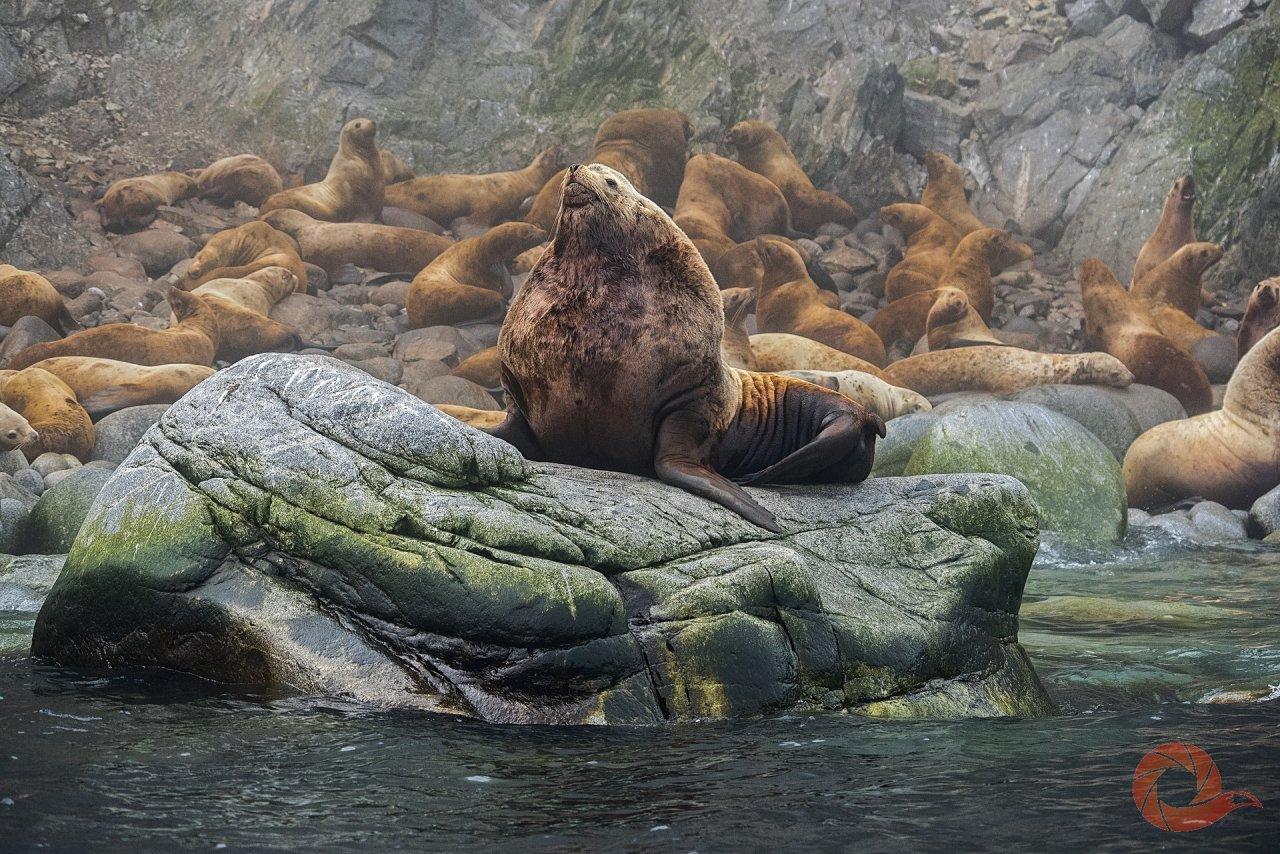 Сивучи — морские львы, крупнейший вид семейства ушастых тюленей. Они обитают в северной части Тихого океана и населяют прибрежные воды США, Канады и России. Самцы сивучей намного крупнее самок и могут достигать трёх с половиной метров в длину. Весят животные около тонны. Снимок был сделан на лежбище сивучей на островах Ионы в Охотском море. Автор — Григорий Цидулко
