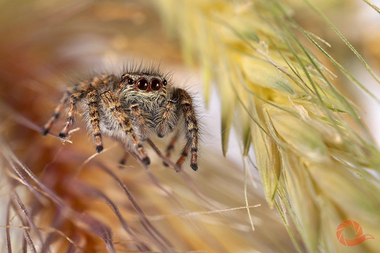 «Пауки-скакунчики — самые симпатичные и трогательные из всех пауков благодаря удивлённому и немножко растерянному взгляду двух больших центральных глаз. У скакунчиков восемь глаз, но эти два — заслуживают отдельного внимания. В отличие от шести побочных, способных воспринимать только движение, центральные глаза подобны фотокамере с телеобъективом: формируют на сетчатке крупное изображение при достаточно небольшом поле зрения. Скакунчик отлично видит добычу на расстоянии восьми-десяти сантиметров. Удивительнее всего, что эти глаза способны двигаться, что обеспечивается шестью специальными мышцами». Ялтинский горно-лесной природный заповедник, Крым. Автор — Надежда Муравьёва