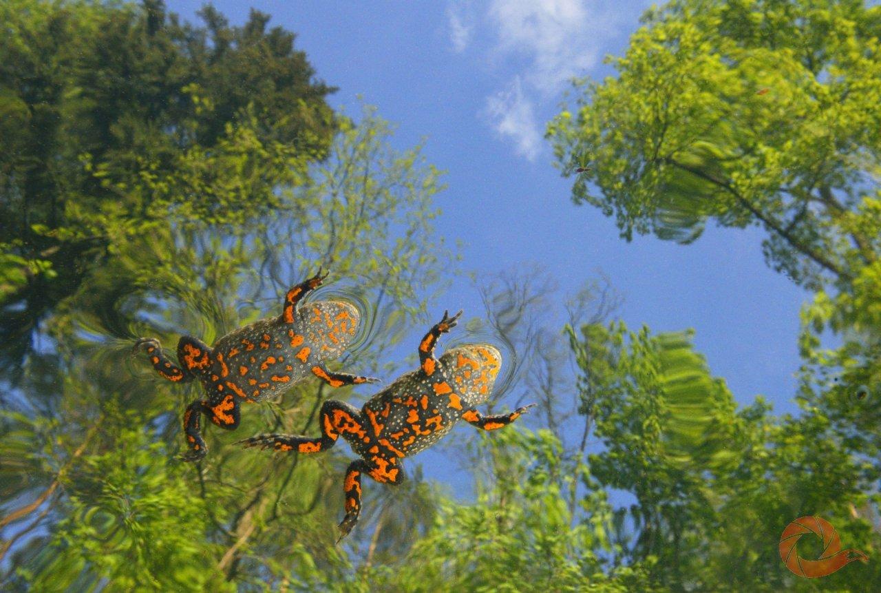 Краснобрюхие жерлянки — один из представителей земноводных на территории Брянской области. И в водоёмах заповедника, его охранной зоны, и в водоёмах всего региона жерлянки — редкий, уязвимый вид. Главная причина тому — исчезновение их естественной среды обитания и большая рекреационная нагрузка на те водоёмы, где они ещё пока обитают.  Автор: Николай Шпилёнок