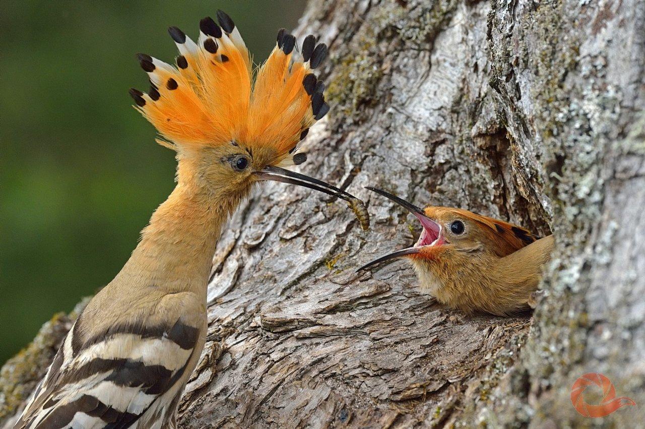 Удоды в «Брянском лесу» — это единственный представитель удодообразных на Брянщине. Встречаются в старых редких лесах. Но вот эта птица решила не улетать в лес — и поселилась прямо на центральной усадьбе заповедника. Автор — Николай Шпилёнок